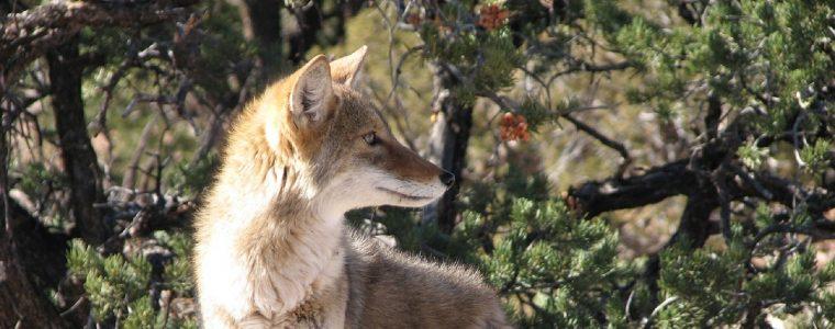 Coyote Days