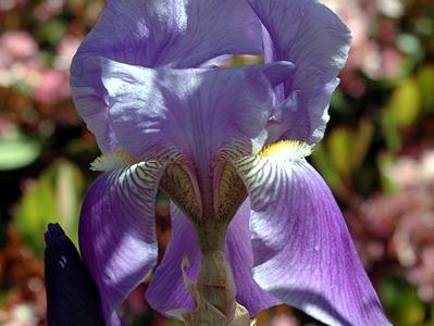 Join us at the Yucaipa Iris Festival, May 16-18