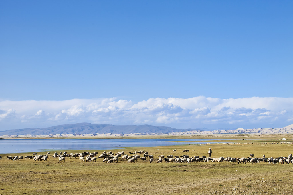 Herd of sheep Qinghai Lake
