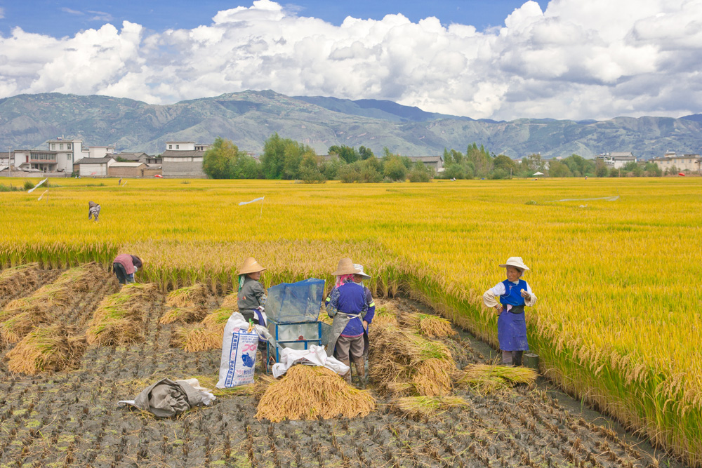 harvesting rice, dali