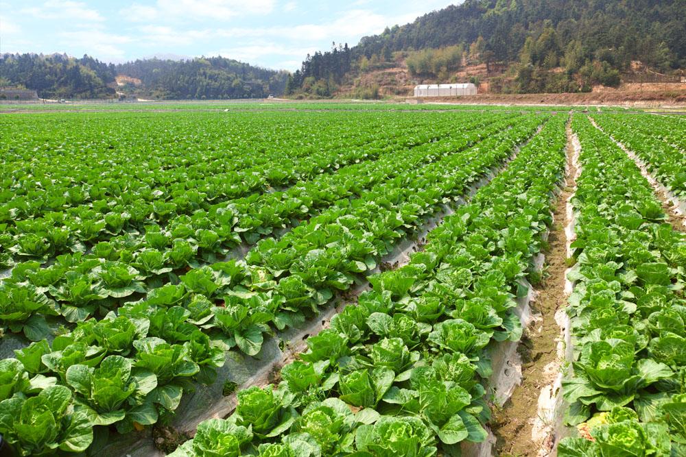 Agriculture cabbage farm, Fujian