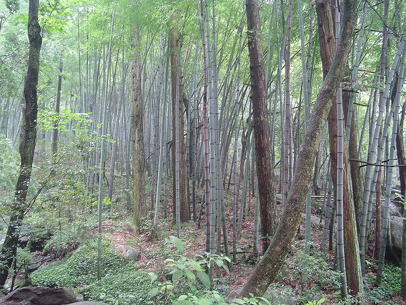 Bamboo Forest, Jiangxi
