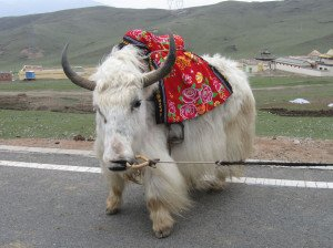 shutterstock_38468878 Ningxia, white yak in Ningxia, Northwest China
