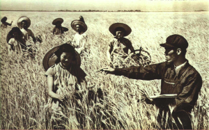 Henan Wheat Harvest 1952