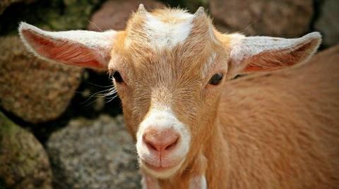 कुर्बानी के लिये खरीदे गये दो बकरों की चोरी