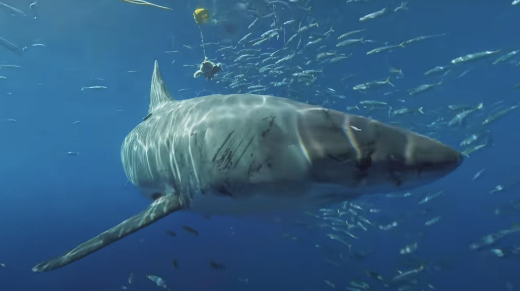 Great White Sharks, Armchair Adventurer Undersea