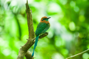 BroadbilledMotmot