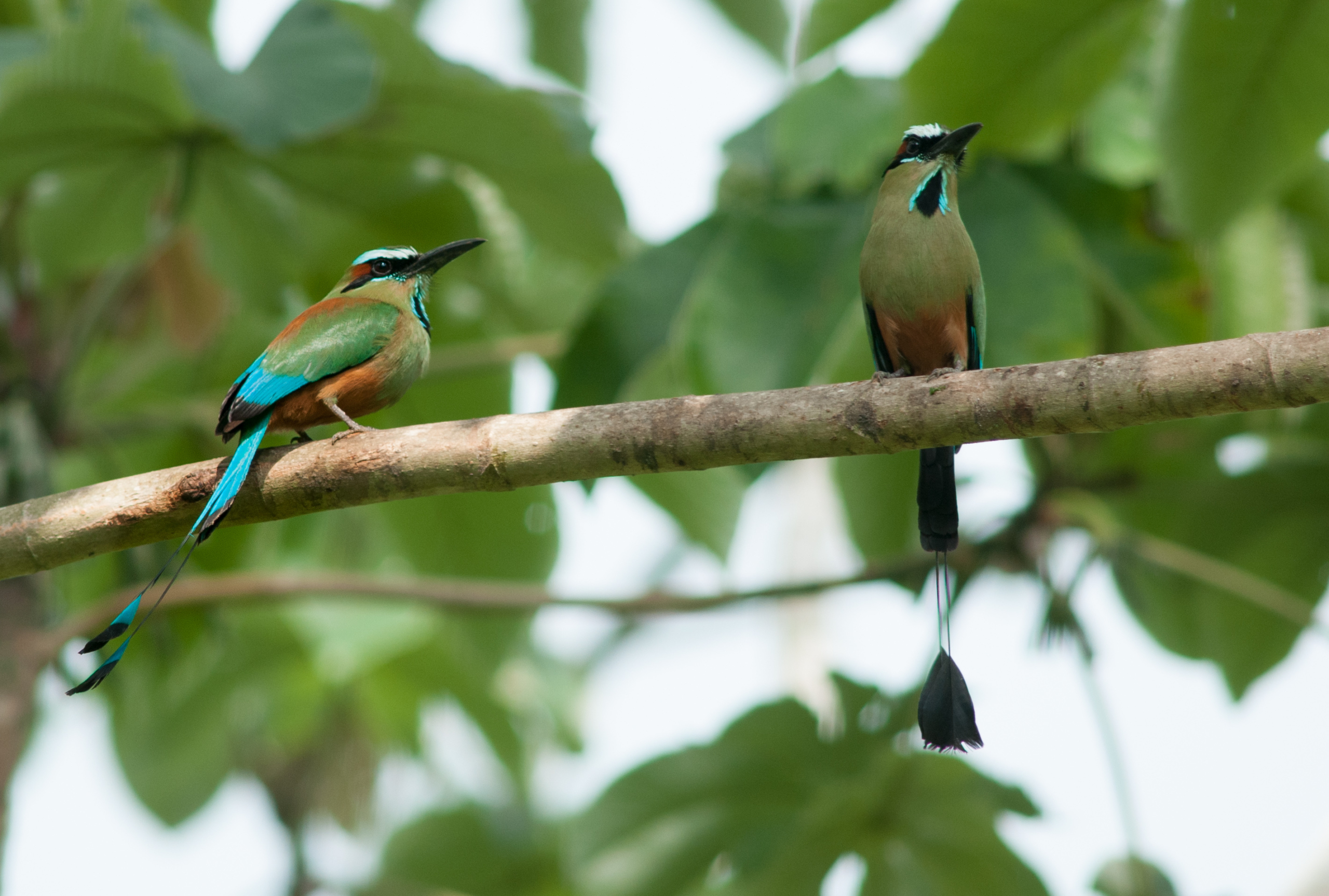 Turquoise browed motmots