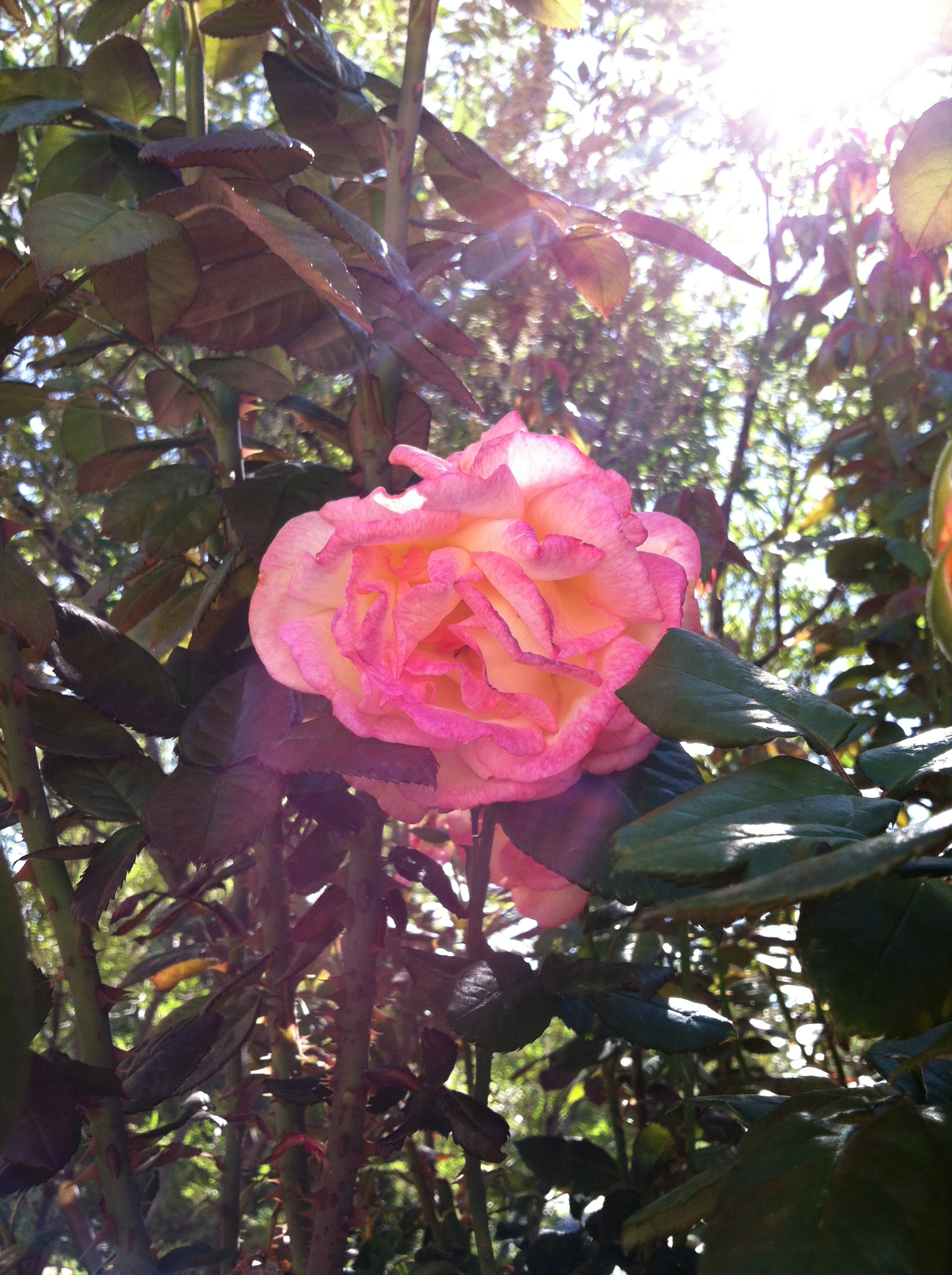 rose with sunbeam