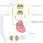 Schematic outline of heart rate control mechanisms