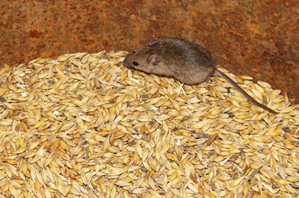 Keeping Rodents Out of Your Feed Room