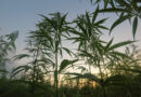Jamaica Faces Marijuana Shortage As Farmers Struggle