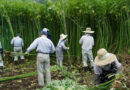 Hokkaido Hemp Association comments on Japanese Govt plans strengthen cannabis laws