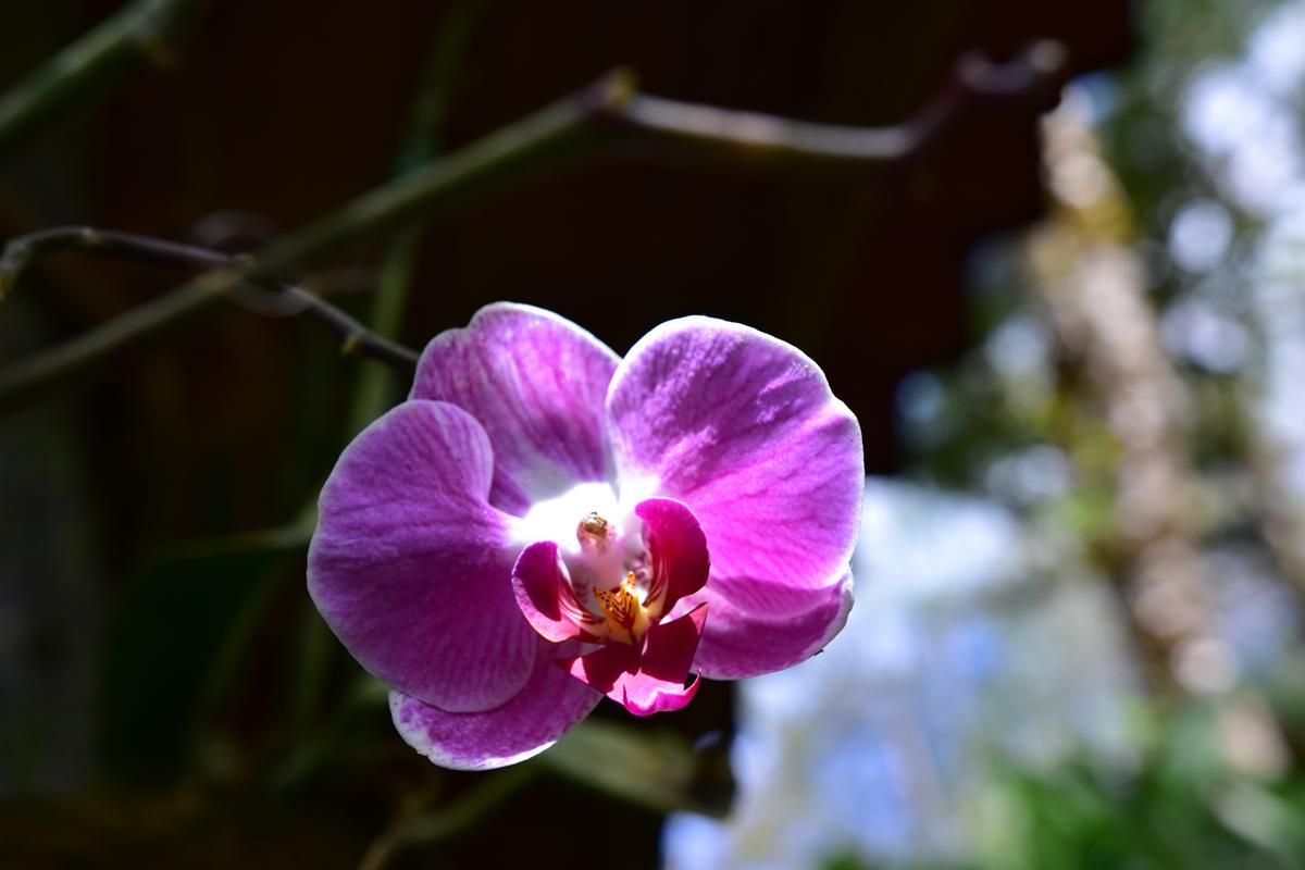 Wild Purple Orchid