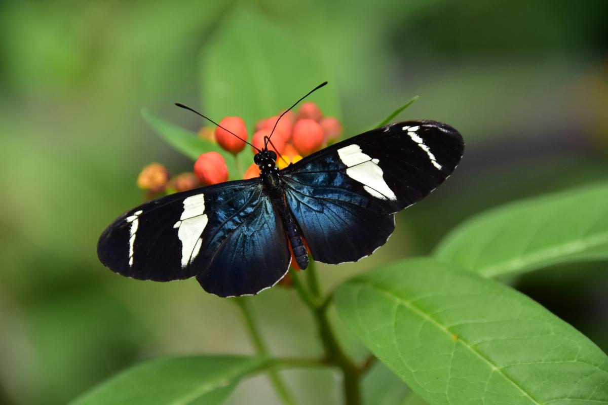 Sappho Longing Butterfly