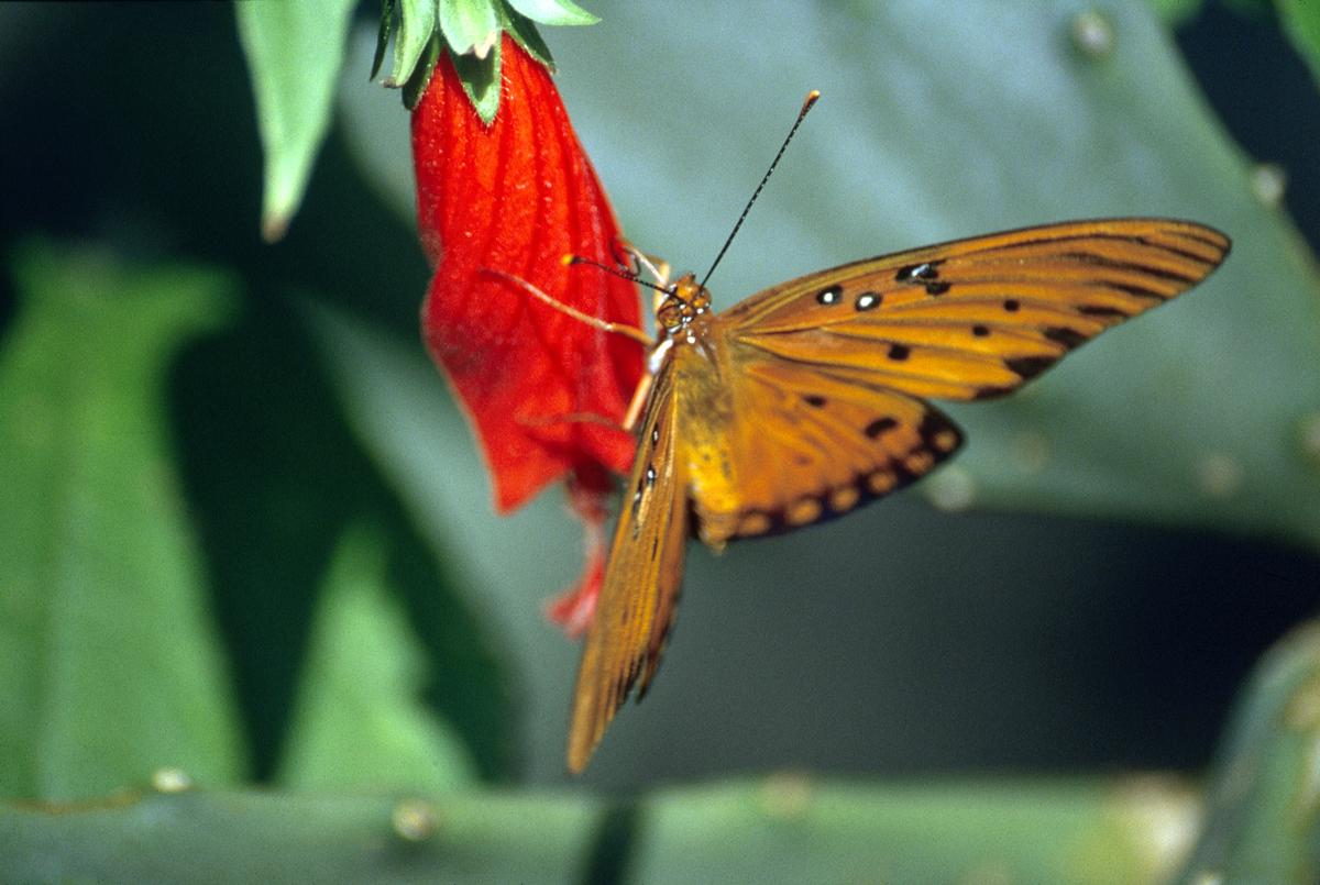 Viceroy Butterfly on Turks Cap