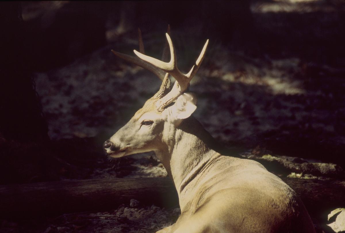 Resting Buck