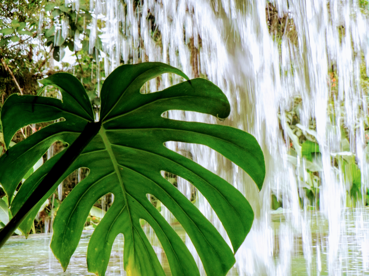 Philodendron behind Waterfall