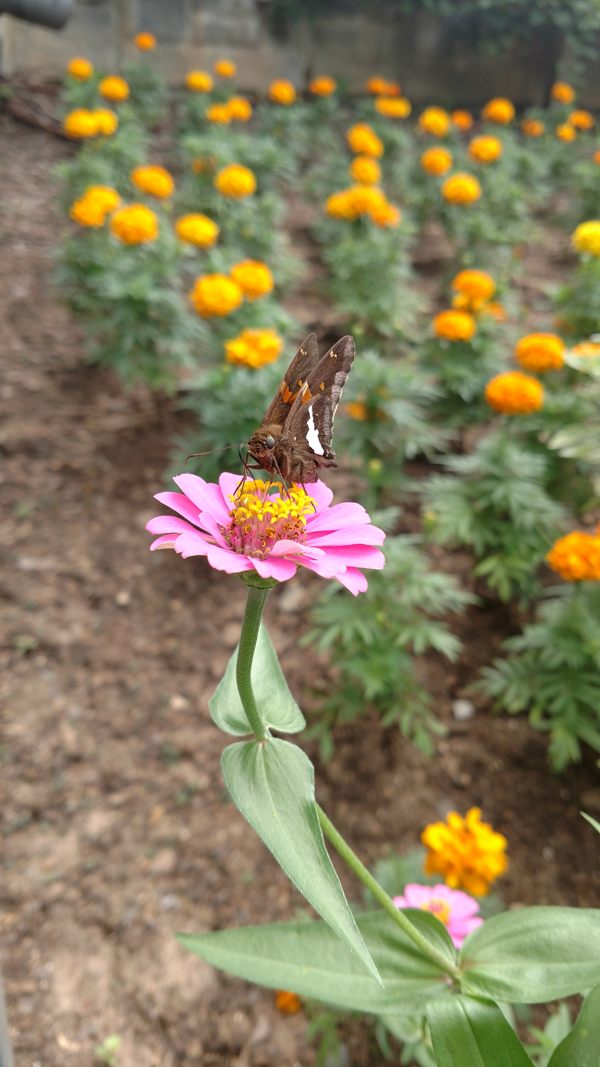 Moth on Zinnia