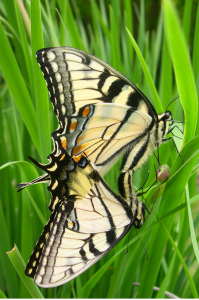 Swallowtail Sex, 11x14 photograph by Dianne Roberts