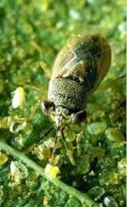 Geocoris eating whitefly