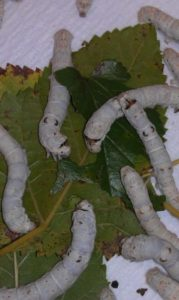 silkworms (Bombyx mori) feeding on mulberry leaves
