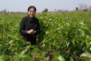 Using mulberry bushes, rather than trees reduces costs of farming silkworms