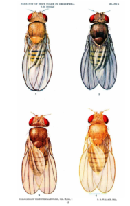 HEREDITY OF BODY COLOR IN DROSOPHILA T. H. MORGAN, 1912 Journal of Experimental Zoology PLATE 1 EXPLANATION OF FIGURES 1 2 A black female. 3 A brown female. 4 A yellow female. Normal or gray female (the outer marginal vein is slightly exaggerated in the figure). The contrast between the black, yellow, and brown flies is well brought out in the figures