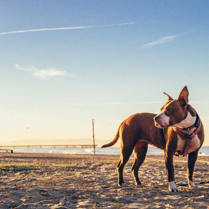 Best Dog Friendly Beaches in California