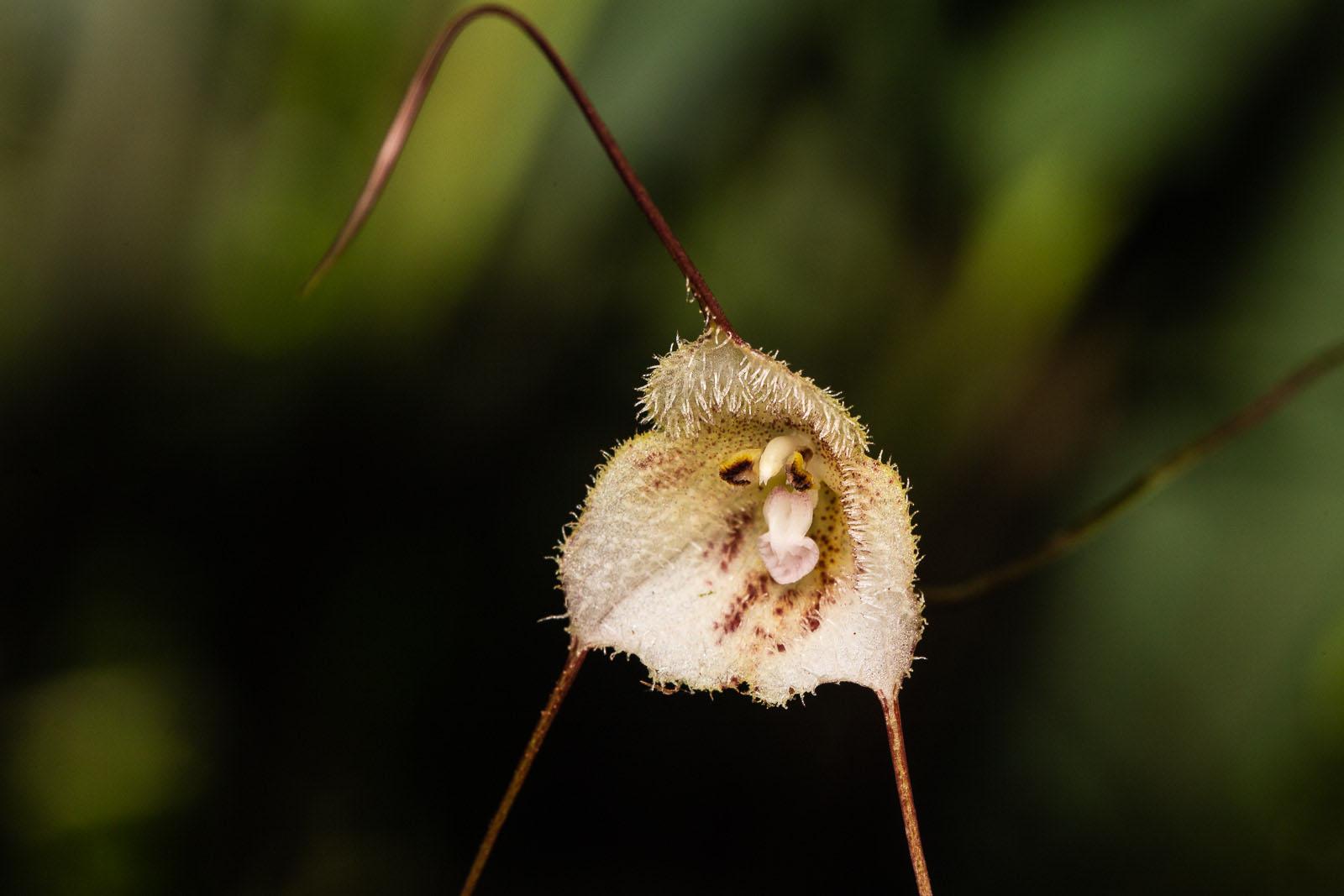 Dracula lemurella