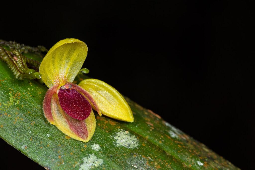 Acronia sp.