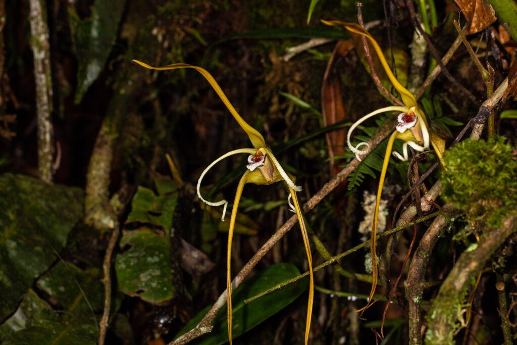 Maxillaria fractiflexa Rchb. f.