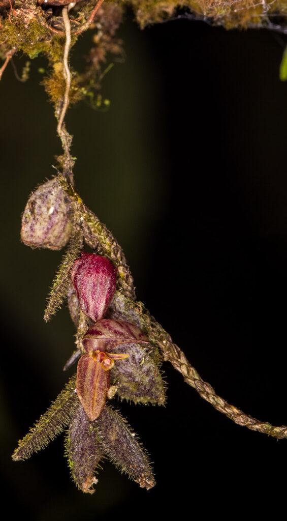 Neooreophilus pilosellus (Rchb. f.) Archila