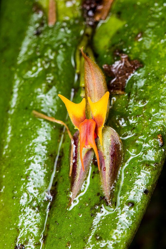 Lepanthes licrophora Luer & B.T.Larsen
