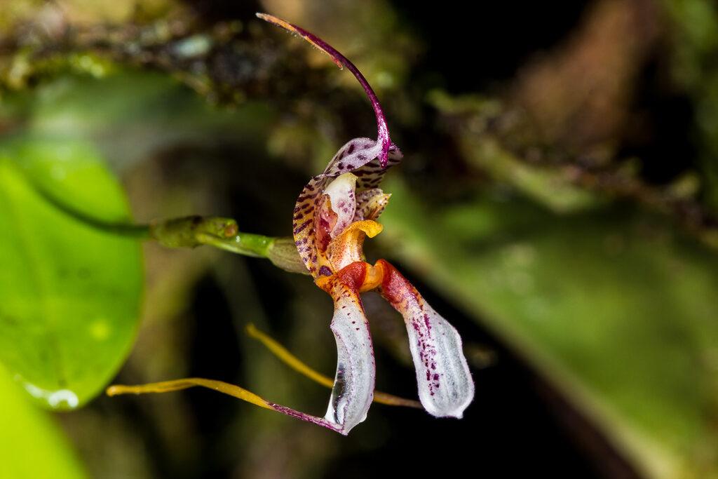 Rodrigoa hortensis (Luer & R. Escobar) Luer