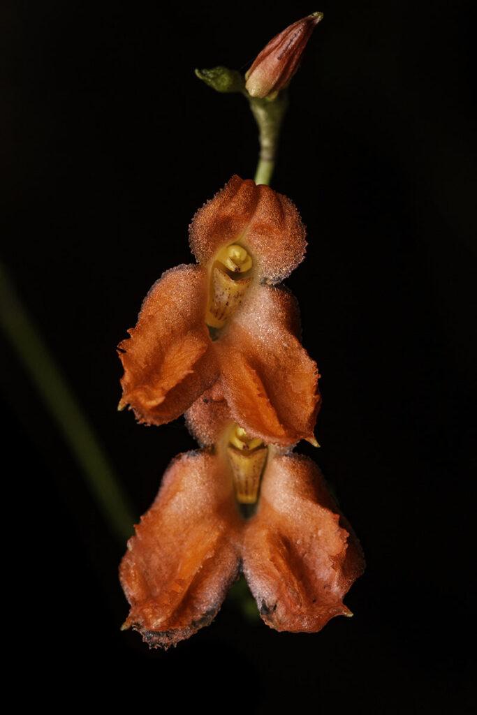 Porroglossum eduardi (Rchb. f.) H.R. Sweet