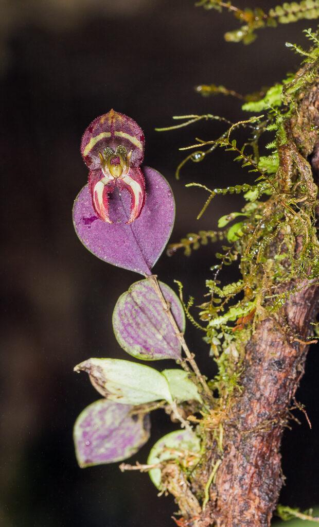 Lepanthes carunculigera Rchb. f.