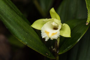 Sobralia bimaculata