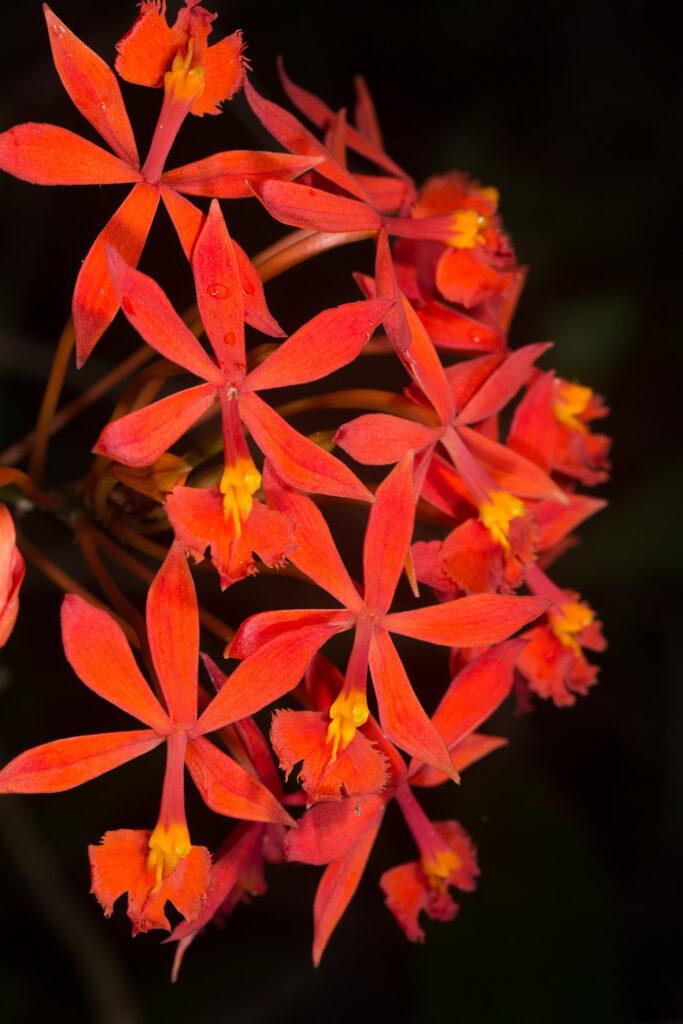 Epidendrum baumannianum Schltr.