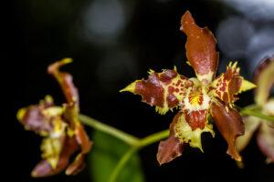 Odontoglossum sceptrum