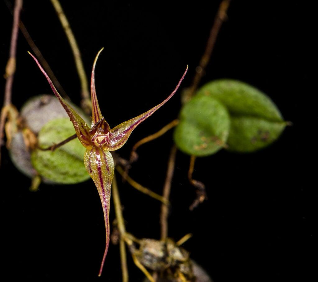 Brachionidium hirtzii Luer