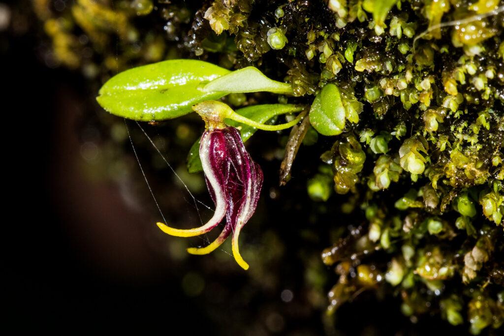 Diodonopsis anachaeta (Rchb. f.) Pridgeon & M.W. Chase