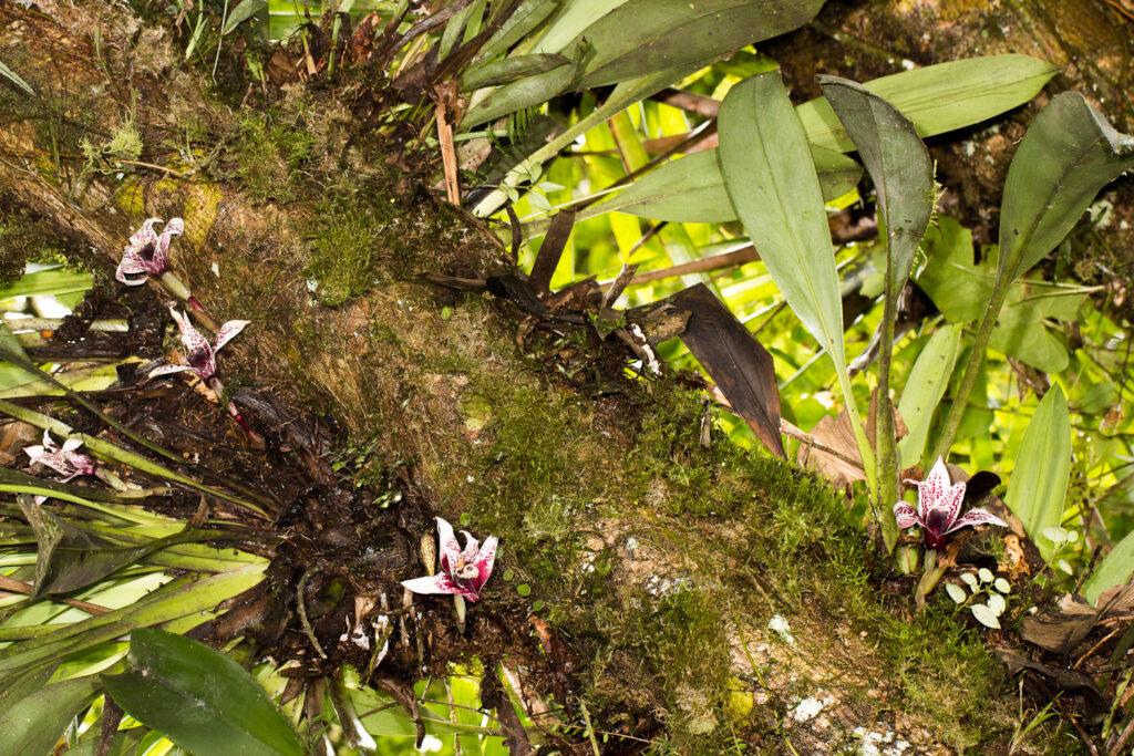 Maxillaria sanderiana Rchb. f. ex Sander