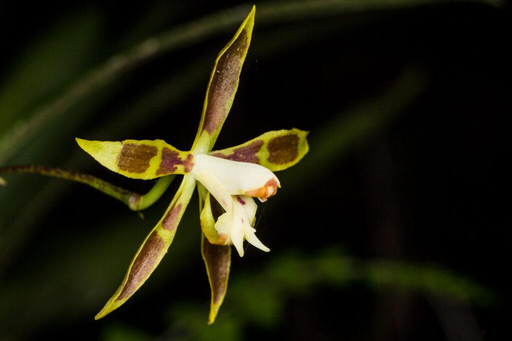 Odontoglossum sp.