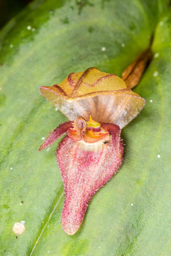 Acronia cf. grandiflora