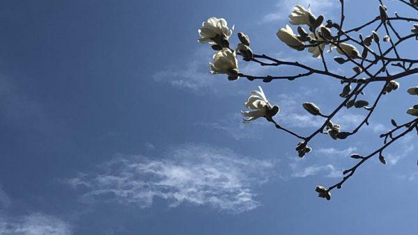 Blue skies magnolia