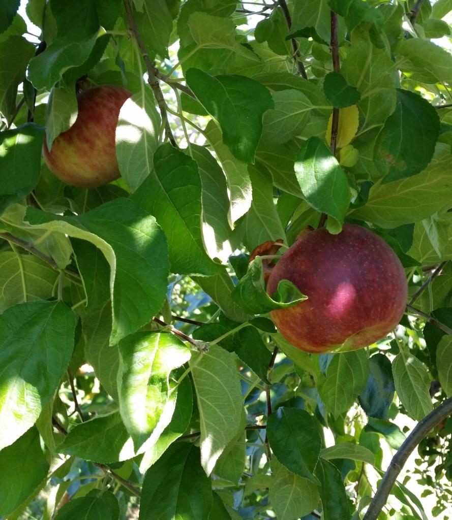 Apple tree at Fishkill Farms