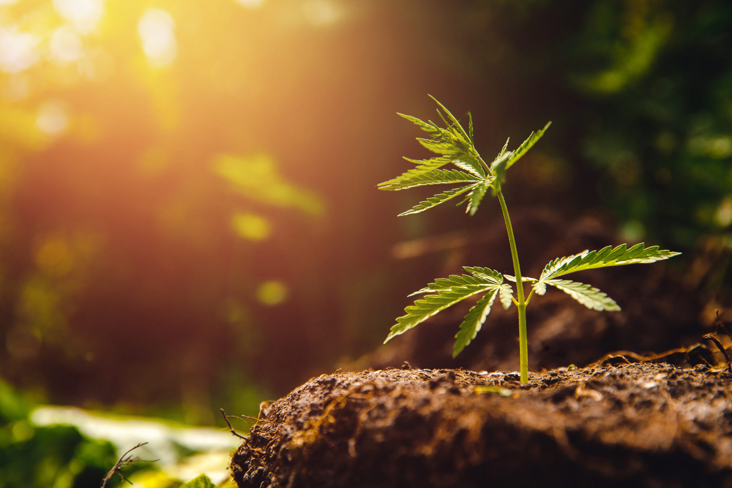 Bush marijuana cannabis on blurred background at sunset.