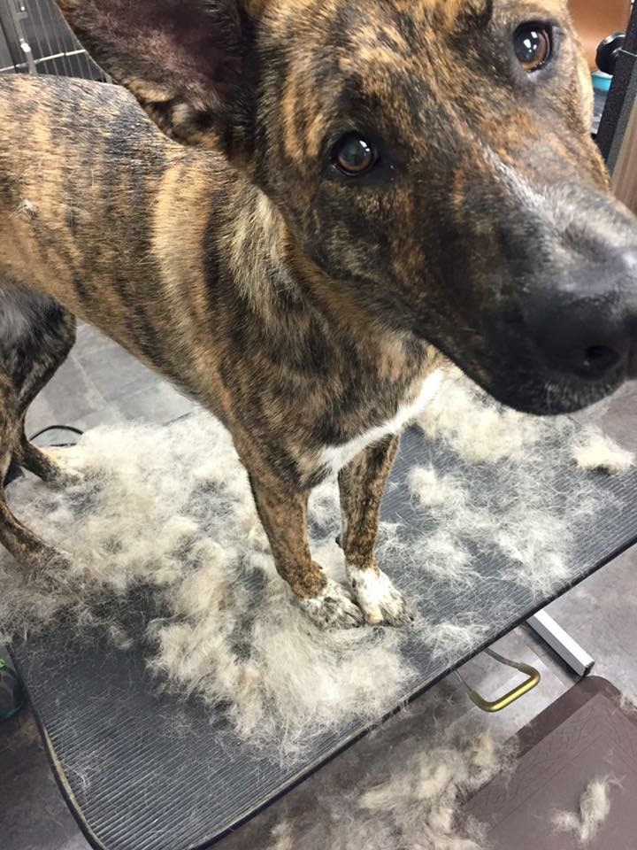 VIP Dog And Cat Grooming Salon Pet Skin Therapies In Grand Rapids Michigan 48508 De Shed Pet Hair Shedding