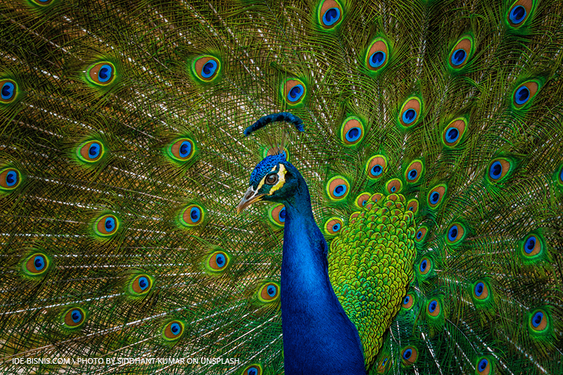 peacock by unsplash
